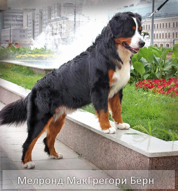 фото породы собак Бернский Зенненхунд описание