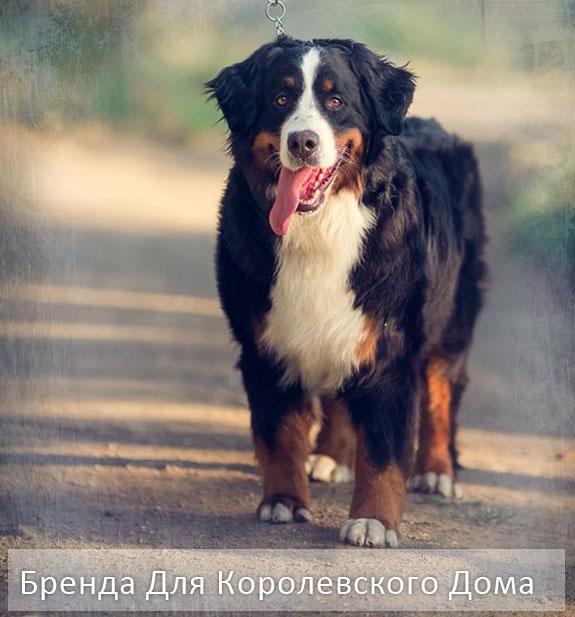 фото породы собак Бернский Зенненхунд описание чемпион